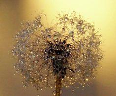 Water droplets on a dandelion