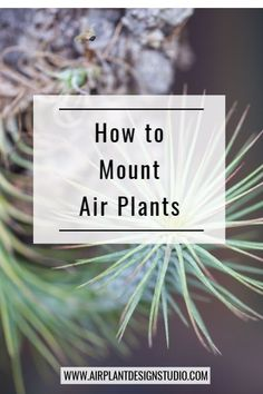 Mounting Air Plants 101 One of the things that we love about air plants is that they are pretty vers Succulents Diy, Planting Succulents, Planting Flowers, Succulent Planters, Types Of Air Plants, Air Plants Care, Garden Plant Stand, Cacti Garden, Moss Garden