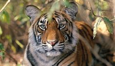 Visit Ranthambore National Park where you may catch a glimpse of majestic tigers that roam in the open wilderness. North India Tour, Cat Species, Oh The Places You'll Go, Big Cats, So Little Time, Mammals, Habitats, National Parks, Journey