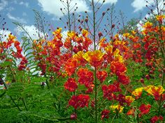 Pride of Barbados - so very easy to grow from seed, pick a brown bean pod, crack it open, nick one of the seed with a knife, soak in water overnight, & plant in a starter container.
