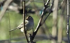 Hendry Vineyard Life 18: Incredible numbers of sparrows: here a Rufous-Crowned - patrol the vineyard rows all winter #hendryvineyardlife