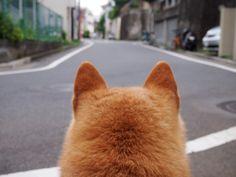 Shiba Inu Komugi.(柴犬の小麦さん)