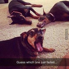 Dobermann, The Doberman pinscher, Image, Humour, Cat, Funny animal Meme: Guess which one just farted..