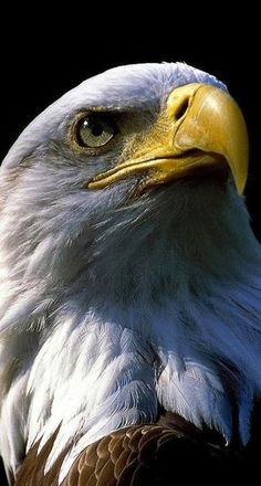 Adler - Eagles is fast How To Choose A Set Of Sheets For Your Bed If you've been sleeping on the sam Eagle Images, Eagle Pictures, Eagle Wallpaper, Lion Wallpaper, Beautiful Birds, Animals Beautiful, Types Of Eagles, Bird Kite, Eagle Painting
