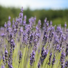 Lavender Essential Oil Uses, Essential Oils, Insect Repellent, Natural Oils, Fragrance, Bloom, Nature, Plants, Naturaleza