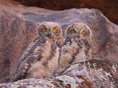 Great Horned Owl Bubo virginianus ORDER: STRIGIFORMES FAMILY: STRIGIDAE © Cameron Rognan, Mojave Desert, Washington, Utah, June 2010, http://www.flickr.com/photos/cameronrognan/4673803182/