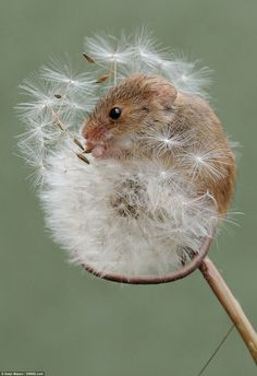 This harvest mice was seen playing among the plants in a Dorset field as it's revealed the...