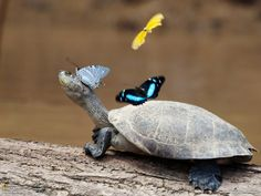 Turtle and butterflies. Heard the butterfly drinks the excess water in the turtle eyes, which is good for both! Sob7an Allah