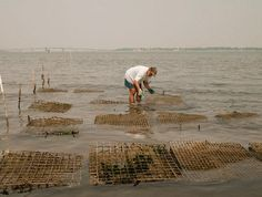 Oyster Farming on the York River