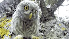 Find GIFs with the latest and newest hashtags! Search, discover and share your favorite Baby Animals GIFs. The best GIFs are on GIPHY. Cute Baby Owl, Baby Owls, Baby Animals, Cute Animals, Owl Babies, Owl Bird, Pet Birds, Birds 2, Owl Family