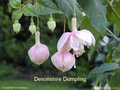Fuchsia Devonshire Dumpling, Trailing