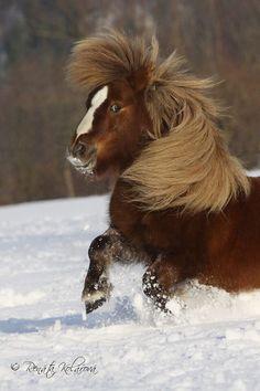 Looks like my old horse, half Islandic, half appie