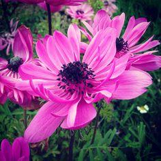 Anemone Anemone Flower, Flowers, Garden, Plants, Garten, Lawn And Garden, Gardens, Plant, Royal Icing Flowers