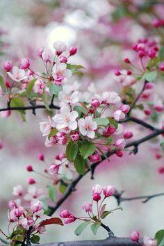 Crabapple Blossoms <3
