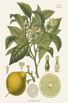 [ Botanical Print: Citrus bergamia, Bitter Orange ] illustrated by Franz Eugen Kohler (c. 1883-1914). For sale (or admiration). ~ on Missouri Botanical Garden Press mbgpress.info
