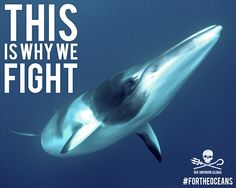 The Japanese whaling fleet intends on killing 333 minke whales this year, and Operation Nemesis is the only chance to stop them. Support the fight and donate to Sea Shepherd today. Image: Matt Curnock