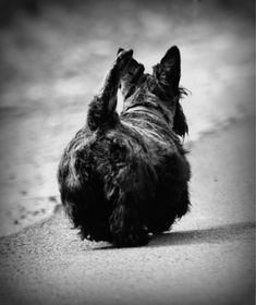 Funny Scottish terrier