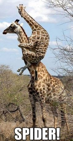Giraffes are afraid of spiders too