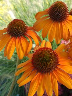 Echinacea Tiki Torch, early summer - early fall, 36""
