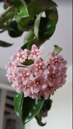 Hoya compacta flowering.