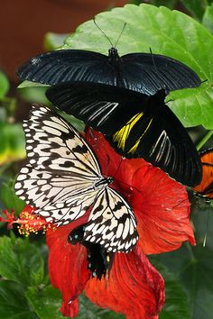 Butterflies on Hibiscus Flowers