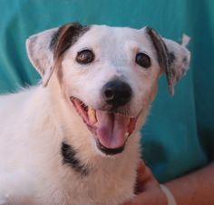 Princess likes to combine two favorite activities -- fetch & chase -- by playing fetch and then getting you to chase her to recover the ball.  She is a 12-year-old Jack Russell Terrier with a youthful spirit, a spayed girl, good with kids and dogs, and ready for adoption at Nevada SPCA (www.nevadaspca.org).  We rescued Princess from another shelter.