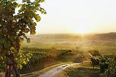 Weingärten im Traisental