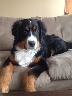 Bernese Mountain Dog. Six months old.
