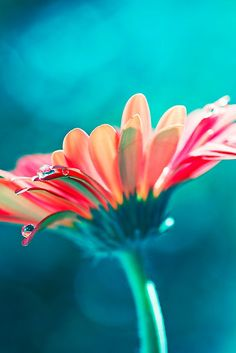 Gerbera Daisy by Amanda Roberts. Love the turquoise with pink and pale orange. Would be a fun color scheme for a beach house room.