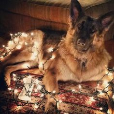 Oh, hello there. I just wanted to help decorate the room. #german_shepherd #christmas