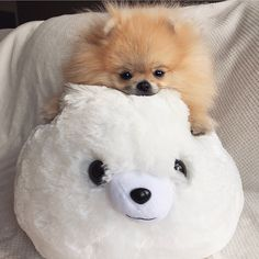 Super Cute Animals, Cute Baby Animals, Animals And Pets, Funny Animals, Cute Puppies, Dogs And Puppies, Cute Pomeranian, Pomes, Cute Dog Pictures