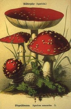 Fly agaric - was once an ingredient in flying potions!