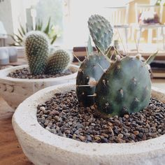 the cacti like Monday just fine by generalstore