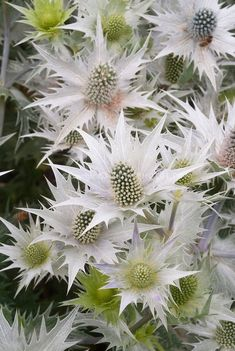 Metalic Silver Sea Holly  Flower Seeds / Eryngium / Perennial 30+