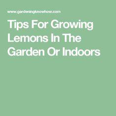 Tips For Growing Lemons In The Garden Or Indoors