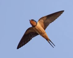 Hirundo rustica; Barn Swallow ID: When perched, the sparrow-sized Barn Swallow appears cone shaped, with a slightly flattened head, no visible neck, and broad shoulders that taper to long, pointed wings. The tail extends well beyond the wingtips and the long outer feathers give the tail a deep fork.