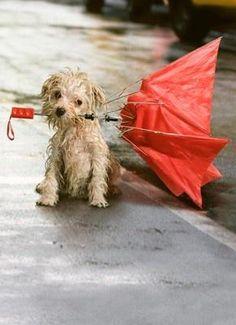 # Hondenweer #Herfst Gelukkig bestaan er ook regenjassen voor de hond. Kijk op onze website voor onze collectie.