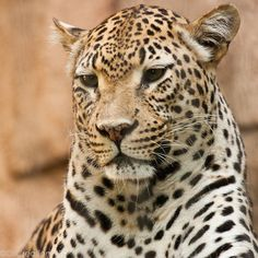 "Leopard: ""Deep in Thought. Big Cats, Cool Cats, Cats And Kittens, Beautiful Cats, Animals Beautiful, Animals And Pets, Cute Animals, Wild Animals, Gato Grande"