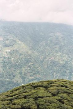 Darjeeling Tea fields, Darjeeling