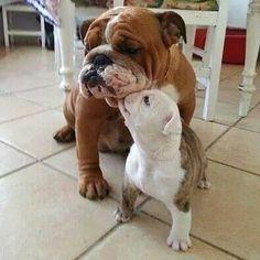 いいね!880件、コメント8件 ― English Bulldogさん(@englishbulldogworld)のInstagramアカウント: 「Have a lovely weekend ❤ DM for credit . . . . . #englishbulldogs #englishbulldogsofinstagram…」