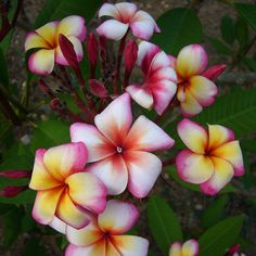 Plumeria Plant - Thumbelina - All Flower Plants - Flower Plants - Gardening - Suttons Seeds and Plants