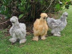 De meest cute kippen in de wereld denk ik... Most cute chicken in the world I think..