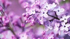 Purple mauve flowers macro wallpaper