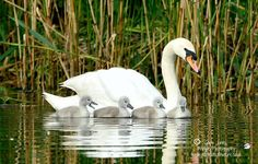 Gary Jones Wildlife Photography; Mute Swan and Cygnets