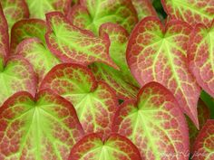 The stunning April foliage of Bishops hat (Epimedium rubrum red bishop's hat)  Tolerates dry shade. Hardiness Zones: 5 to 9 Habit: Herbaceous perennial  Growth Rate: Moderate  Size: 8 to 13 inches; spread of 12 inches  Site Requirements: Light to moderate shade; average to organically enriched, medium moist, well-drained soil