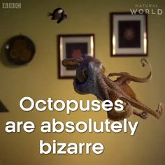 BBC Earth is back with another excellent special, this time focusing on the intriguing creature of the octopus. Octopuses are intelligent, with nine brains, half a billion neurons in their arms, and t Nature Animals, Animals And Pets, Baby Animals, Funny Animals, Cute Animals, Beautiful Creatures, Animals Beautiful, Paludarium, Marine Biology