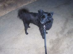 Aragon Pomeranian & Schipperke Mix • Adult • Male • Small Paws 4 Humanity, Inc Orange Park, FL