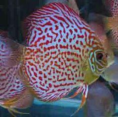 Tropical Aquarium, Tropical Fish, Aquarium Fish, Red Leopard, Leopard Spots, Discus Fish For Sale, Best Aquarium Filter, Fish Information, Find Color