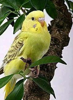 Budgie aka Parakeet