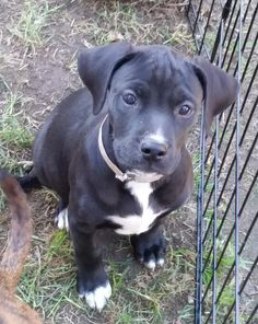 Morticia is an adoptable American Staffordshire Terrier searching for a forever family near East Greenwich, RI. Use Petfinder to find adoptable pets in your area.